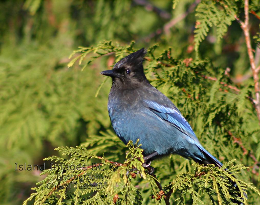 Stellars Jay in Tree 3