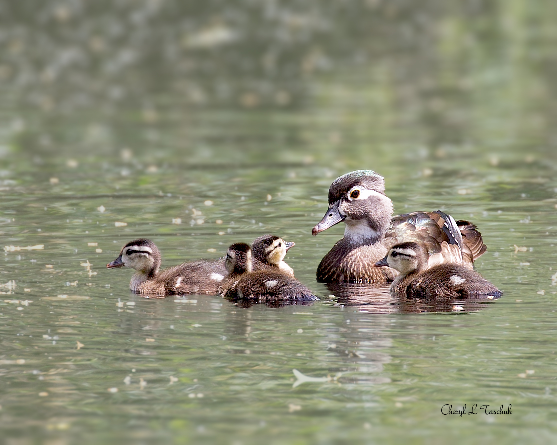 Wood Duck Mother and Ducklings