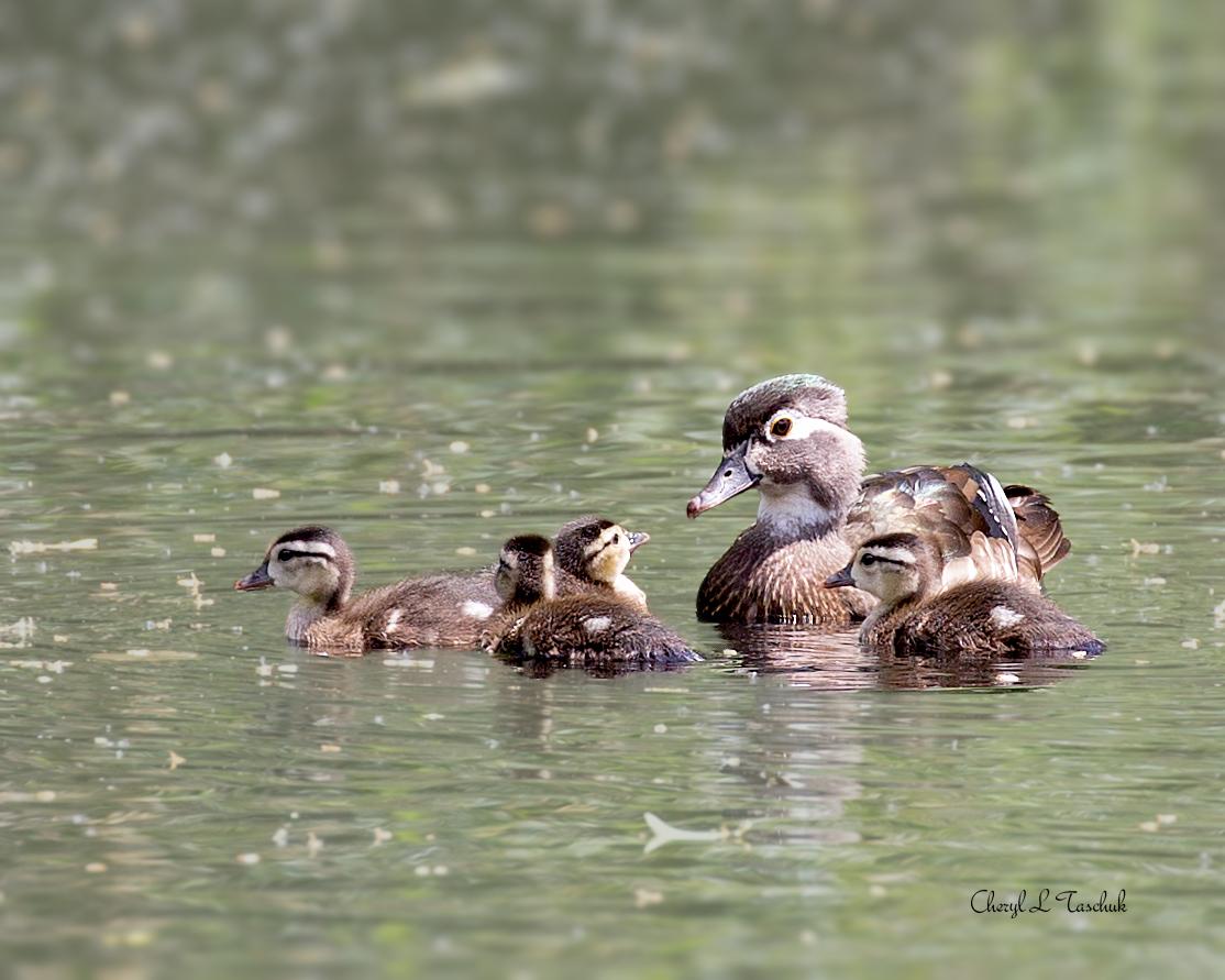 BI-Wood Duck Mother and Ducklings 5906