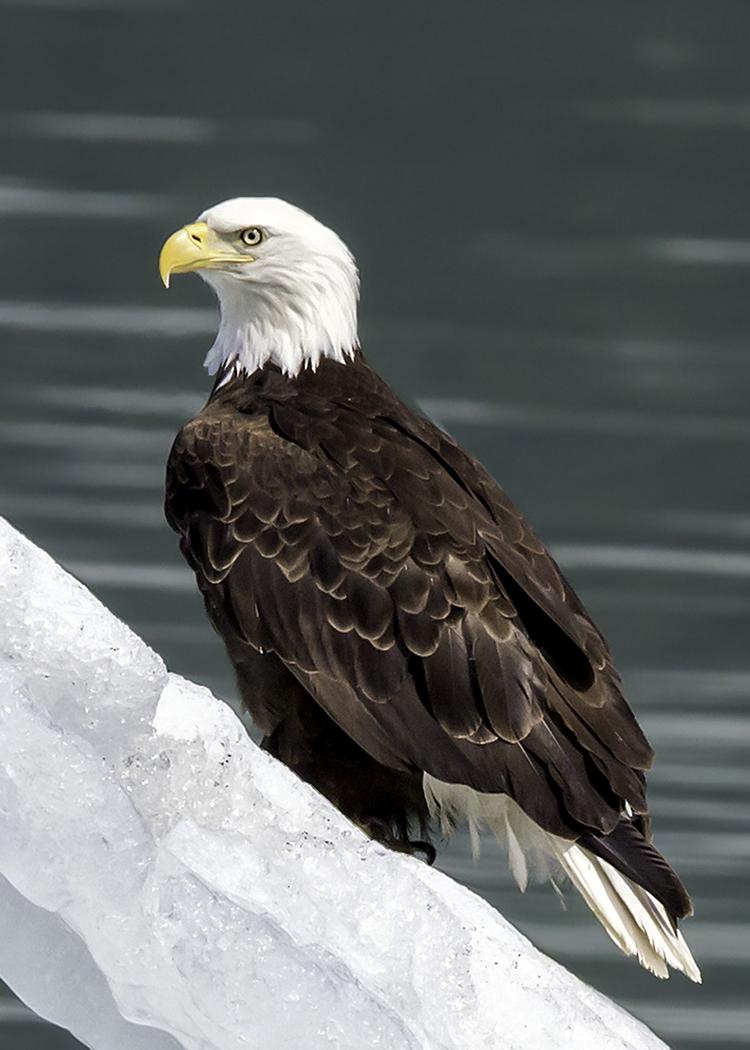 Bald Eagle on Berg