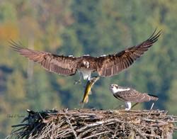 Osprey Delivering Lunch