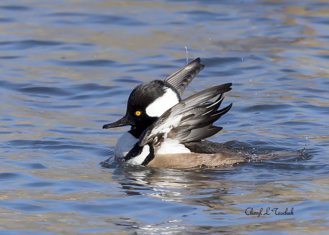 "Hooded Merganser, Male, ""Look at Me"""