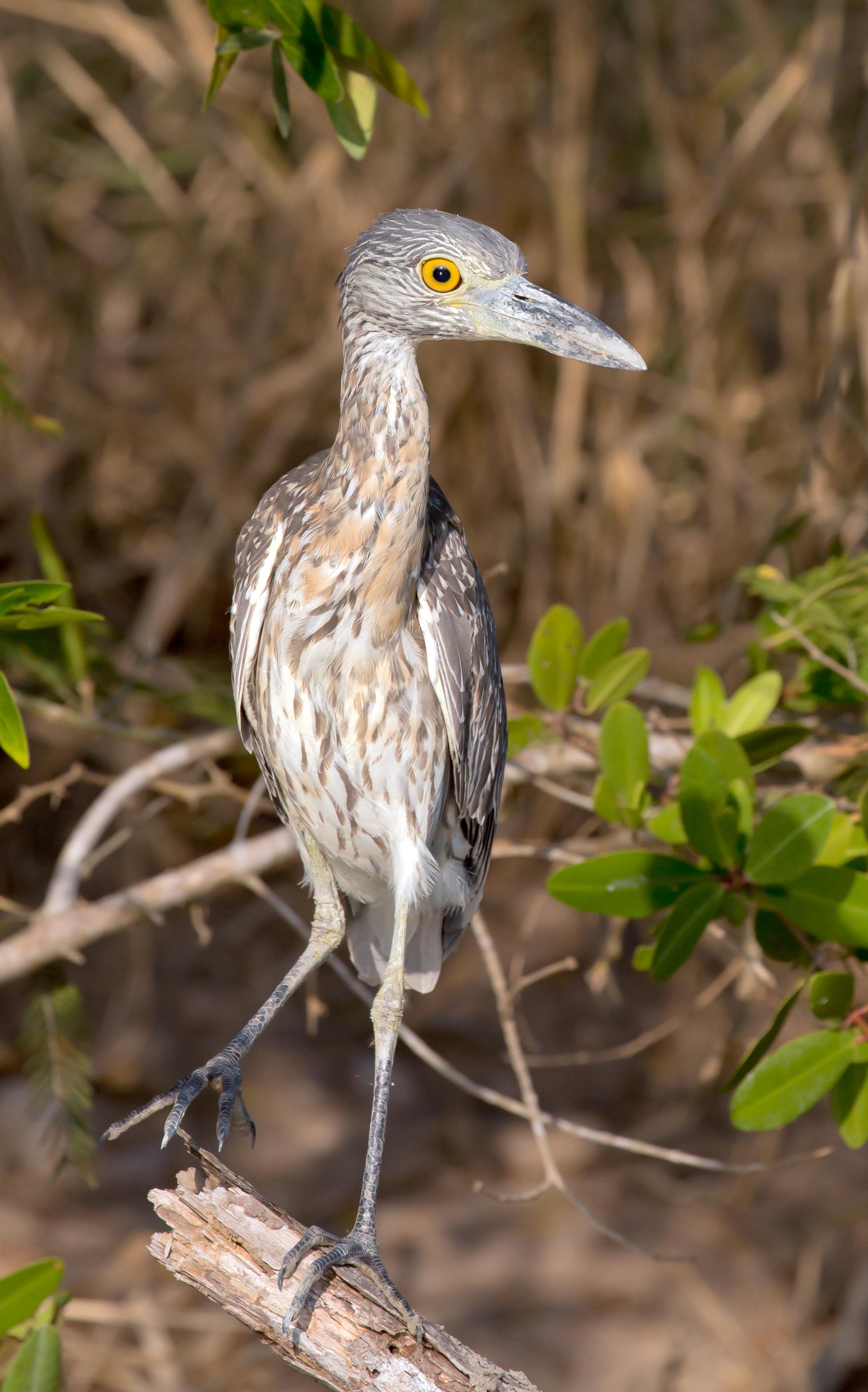 BI-Mexican heron 3097-1