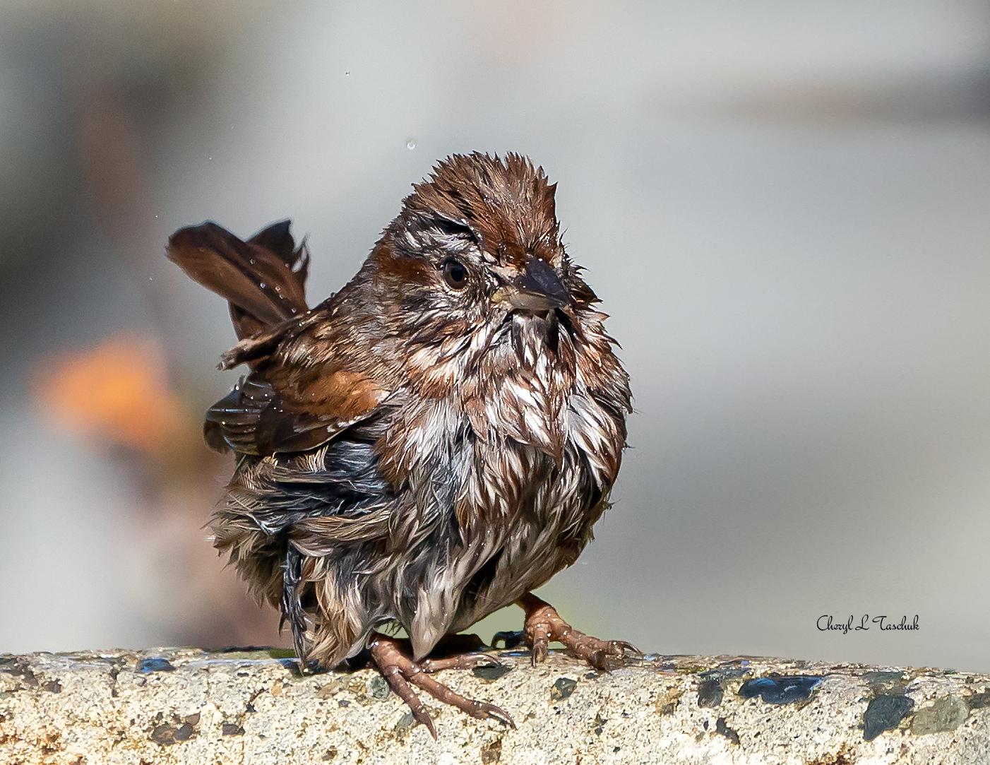 Sparrow Having a Bath