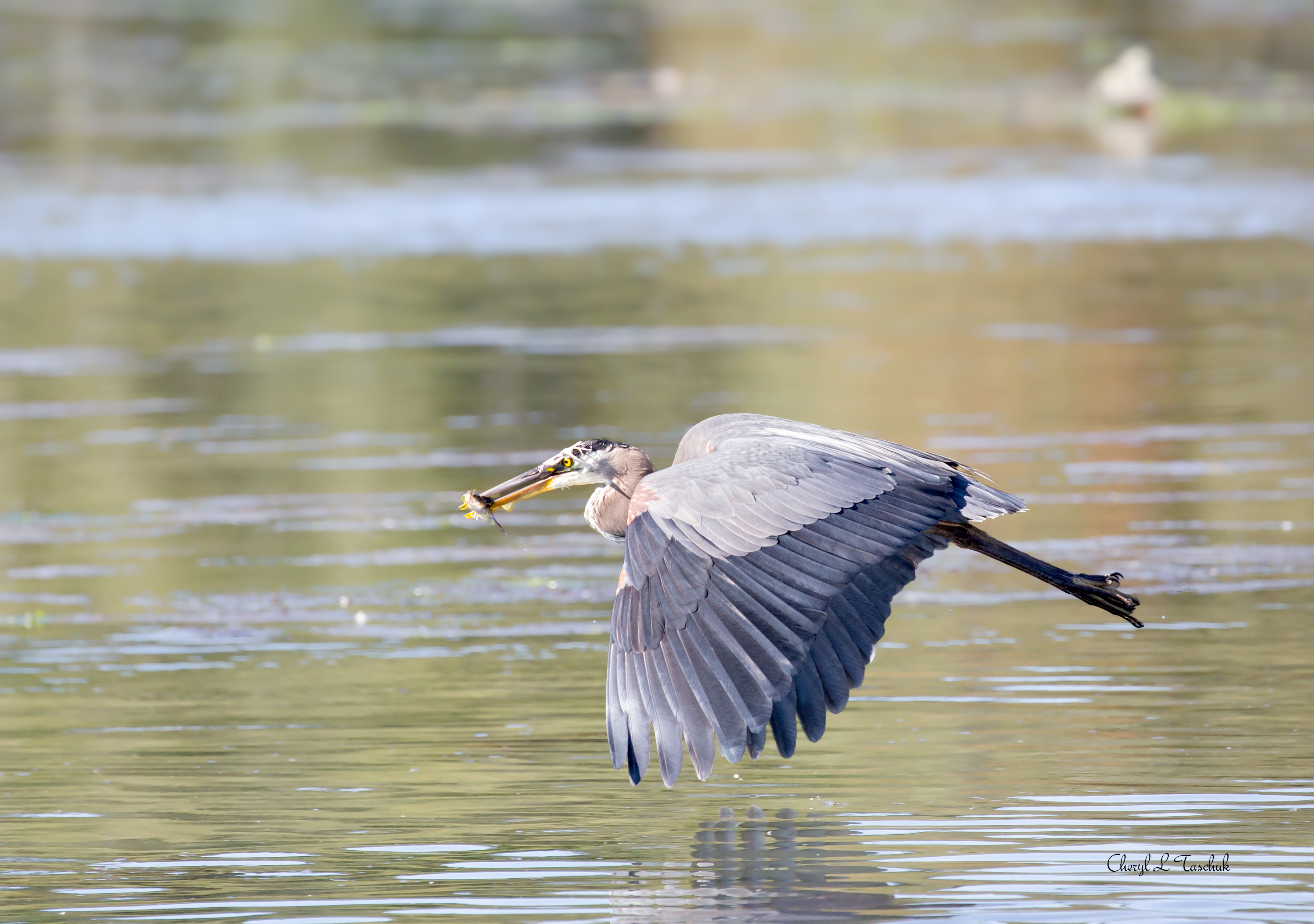 Heron in Flight with Fish