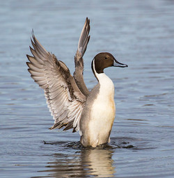 Pintail Duck Preening