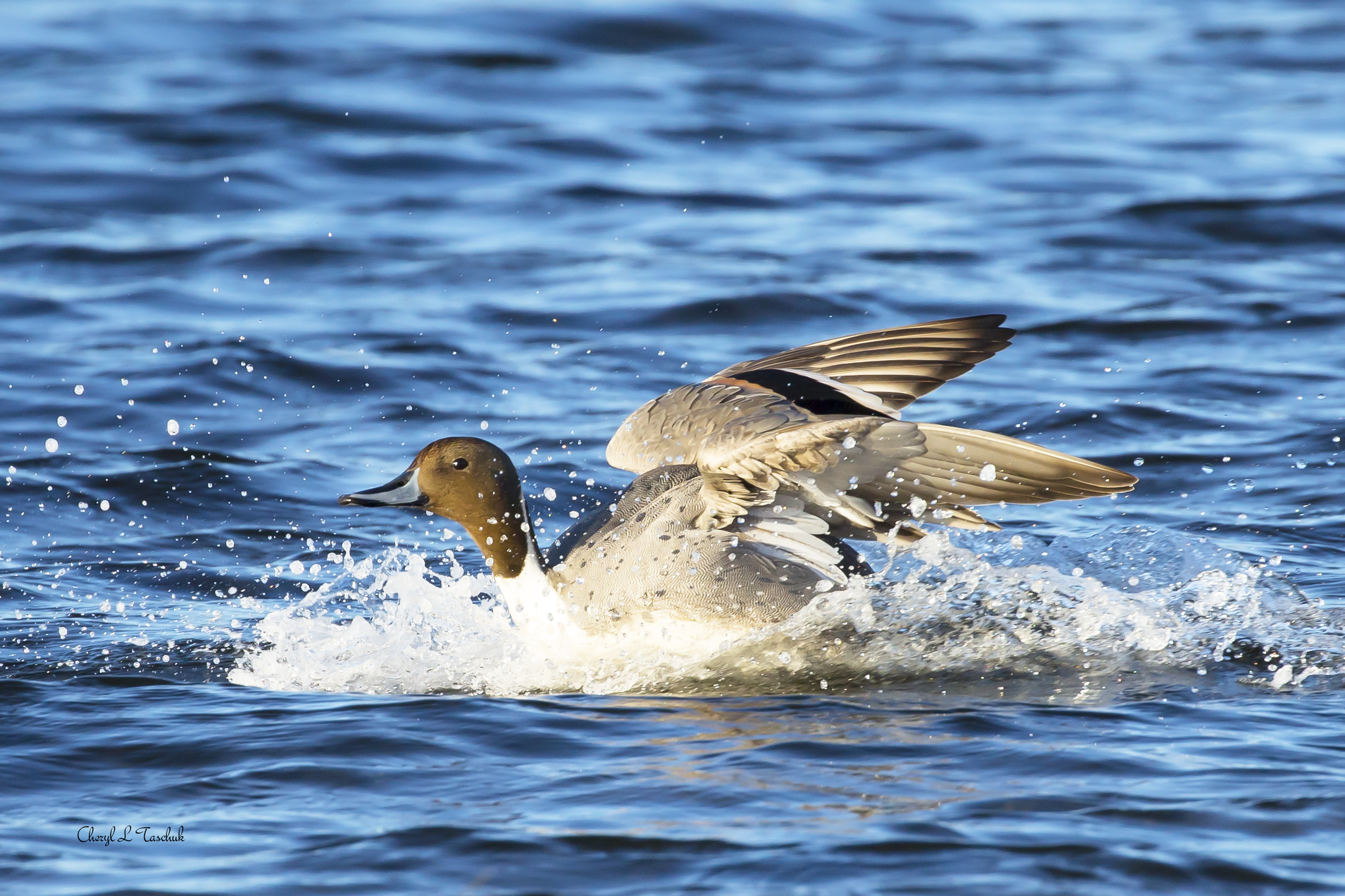 Pintail Duck Landing