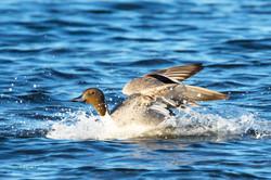 Pintail Duck Landing