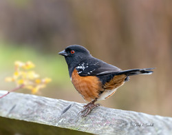 Towhee on Fence