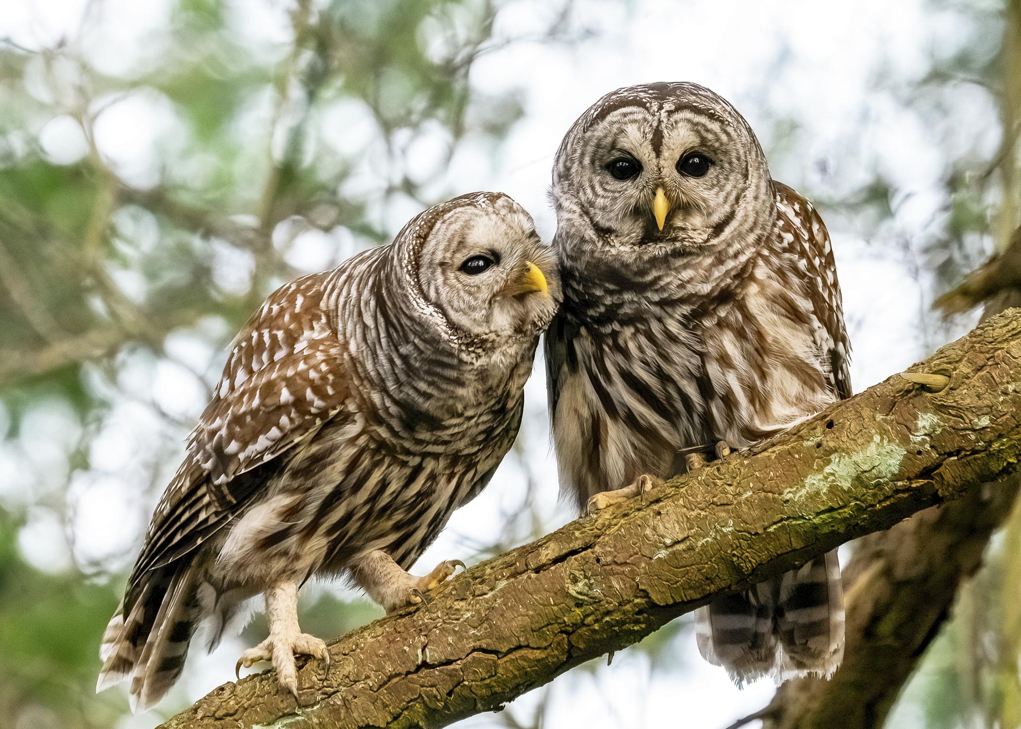 Barred Owl Couple
