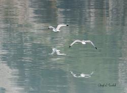 BI-Gulls Flying in Alaska