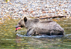 Grizzly in River with Fish