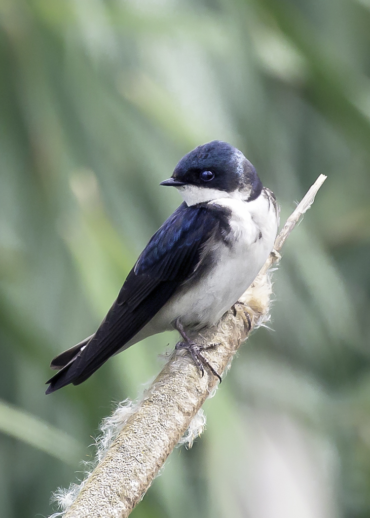 Tree Swallow on Cat Tail 5839a