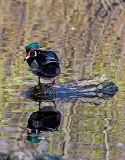 BI-Wood Duck on log 2206a