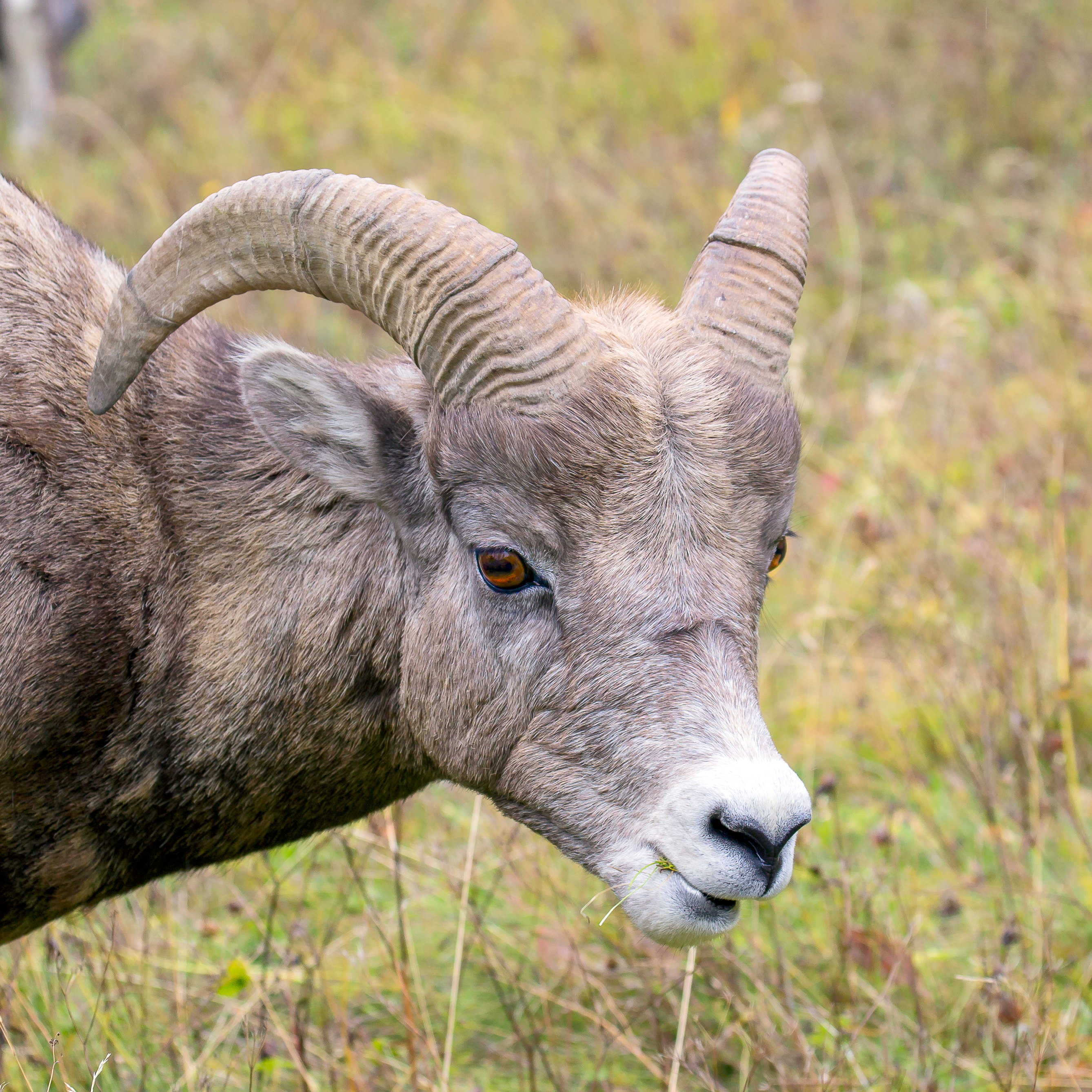 Mountain Sheep Headshot