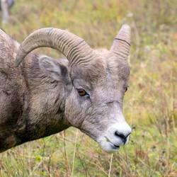 Mountain Sheep Headshot