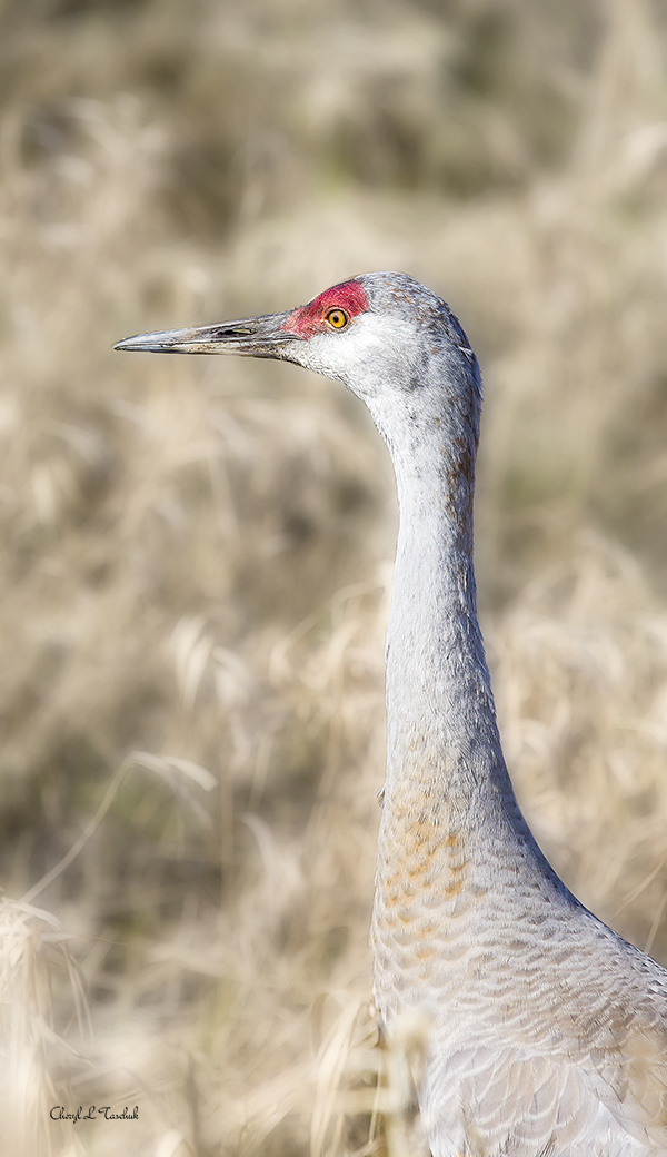 BI-Sandhill Crane Profile 0757