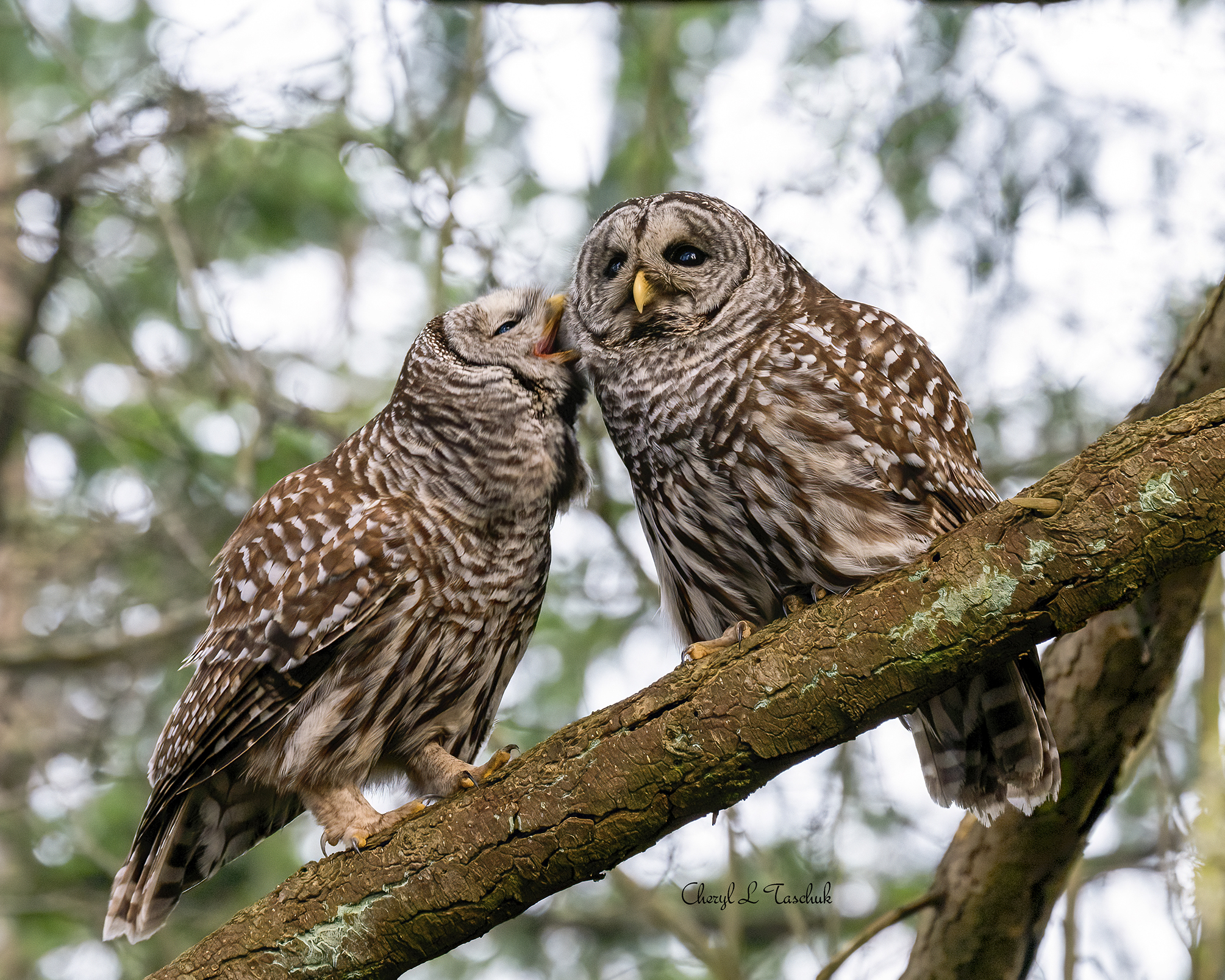 Barred Owl Couple Preening