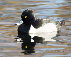 Ring Necked Duck Swimming 1
