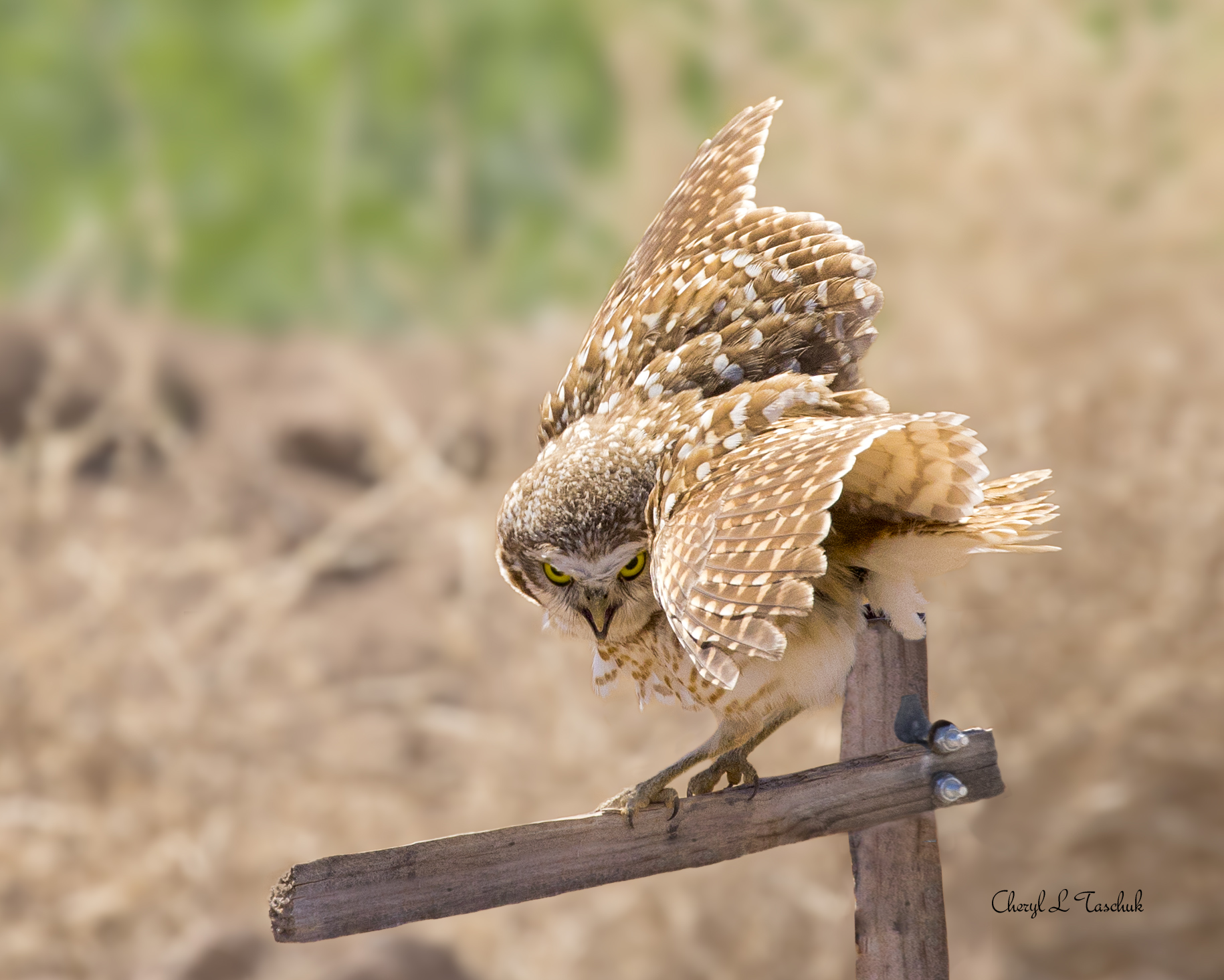 Burrowing Owl on Post 1