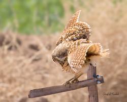 Burrowing Owl on Post 1