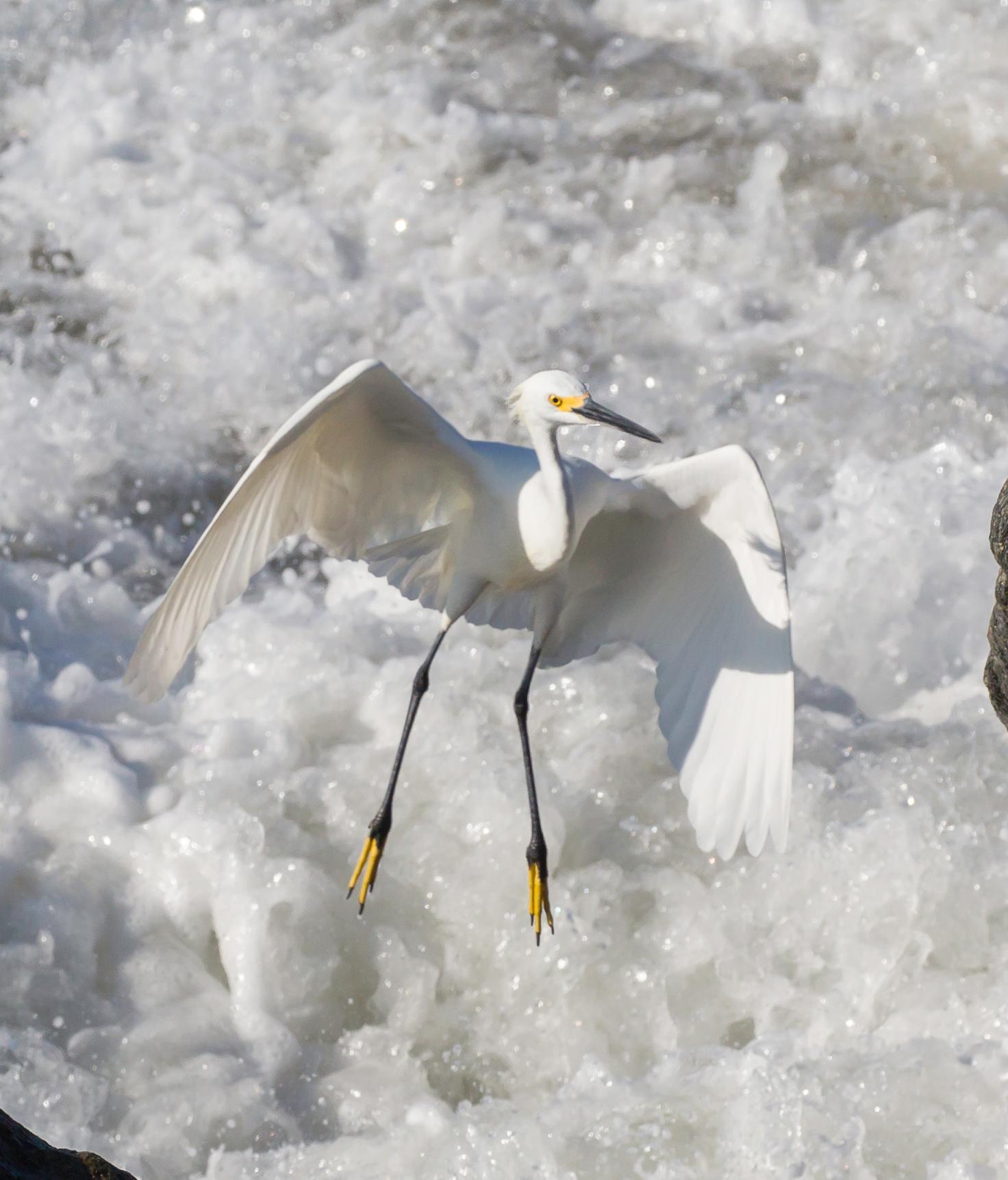 BI-Egret landing 4144