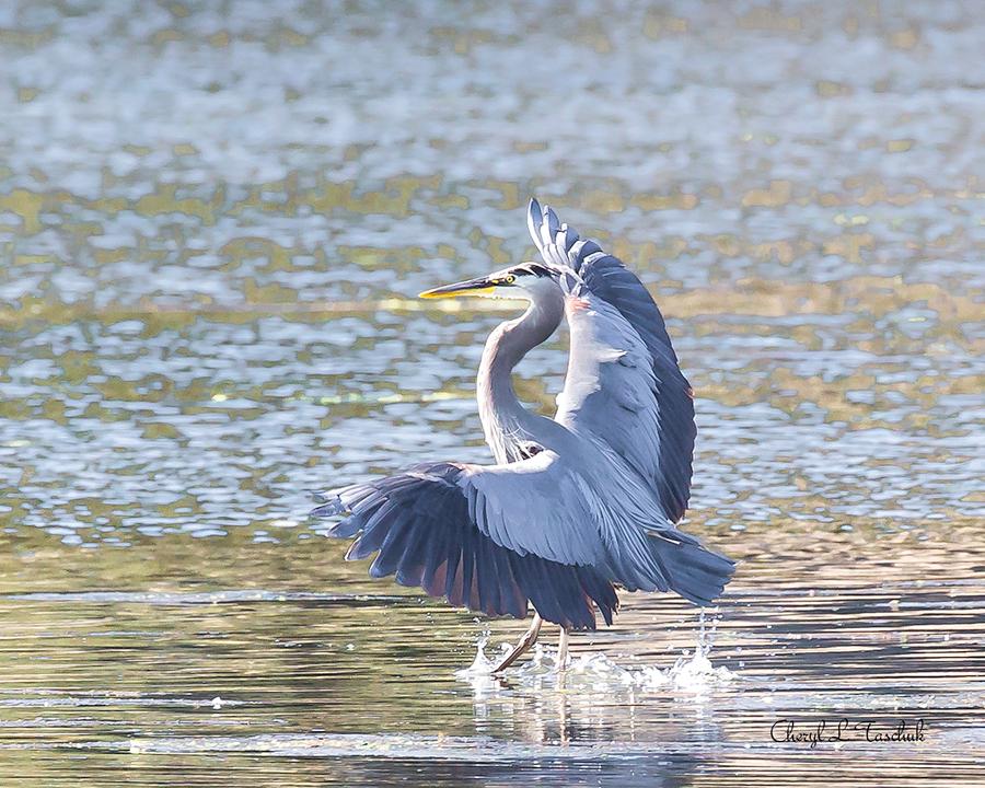 BI-Heron Landing 6528