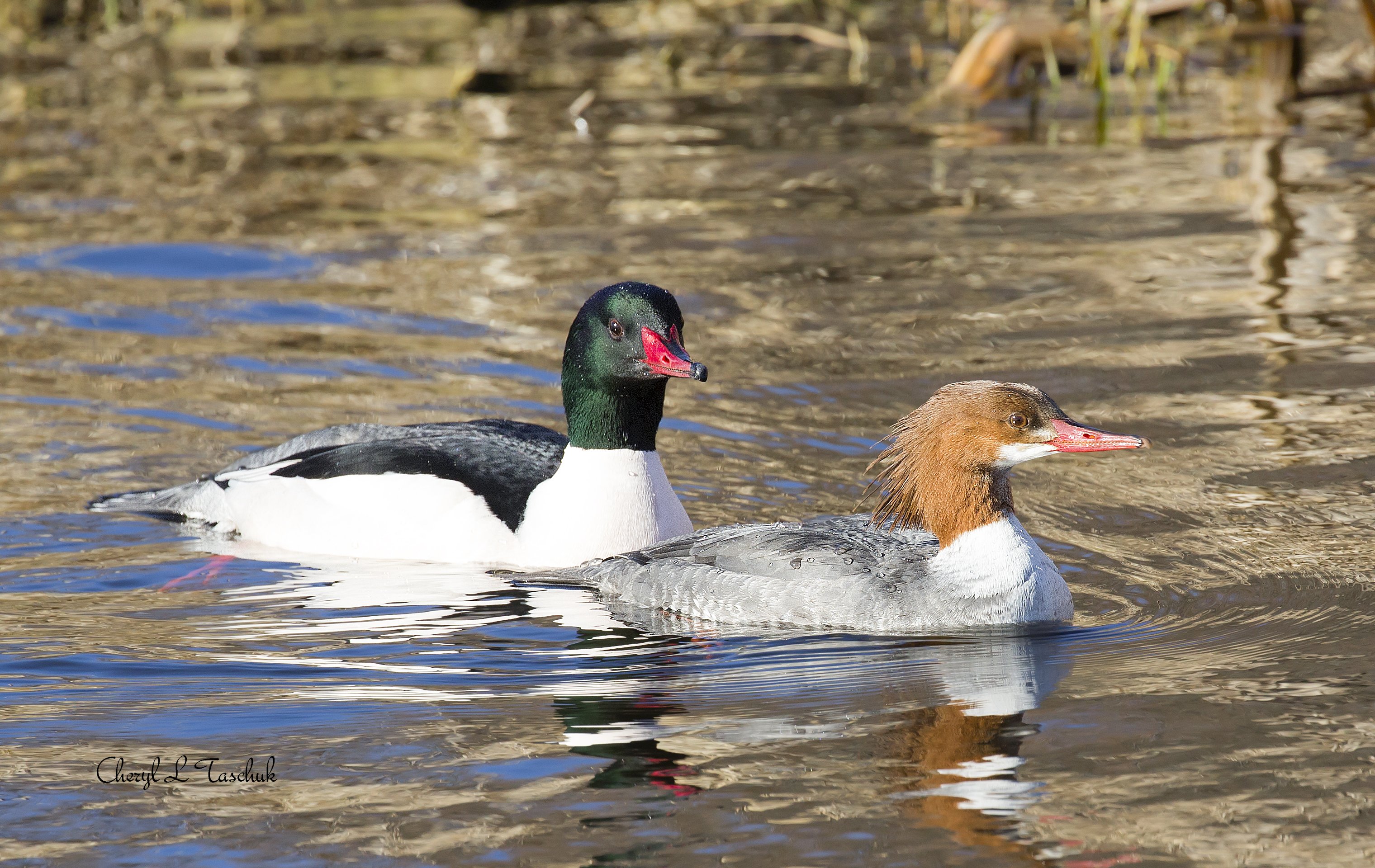 Common Merganser-Female and Male