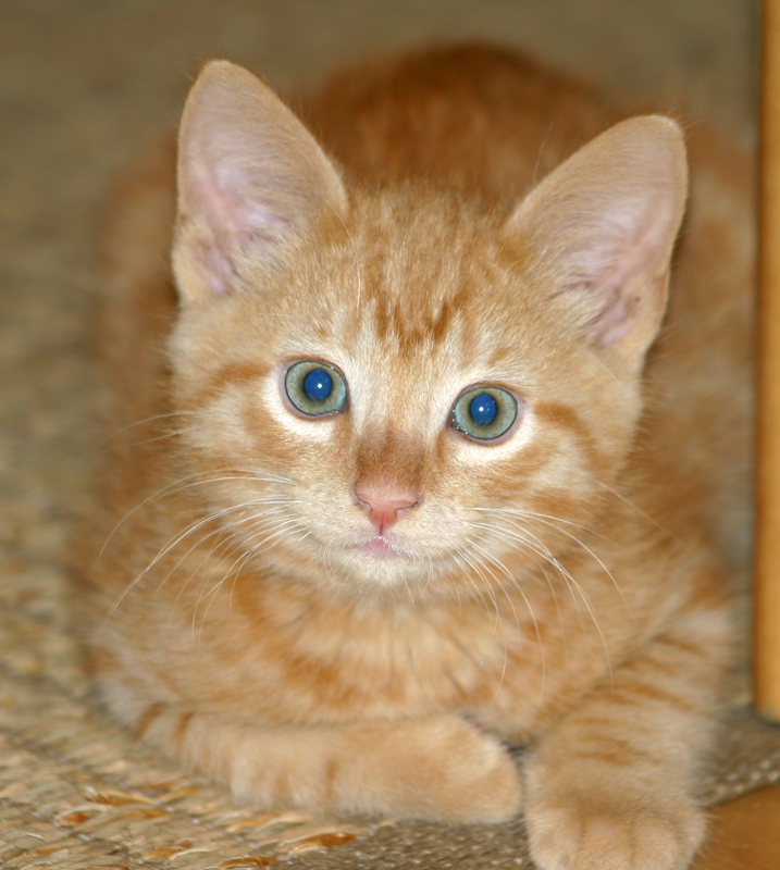 Cat (Orange Tabby Kitten)