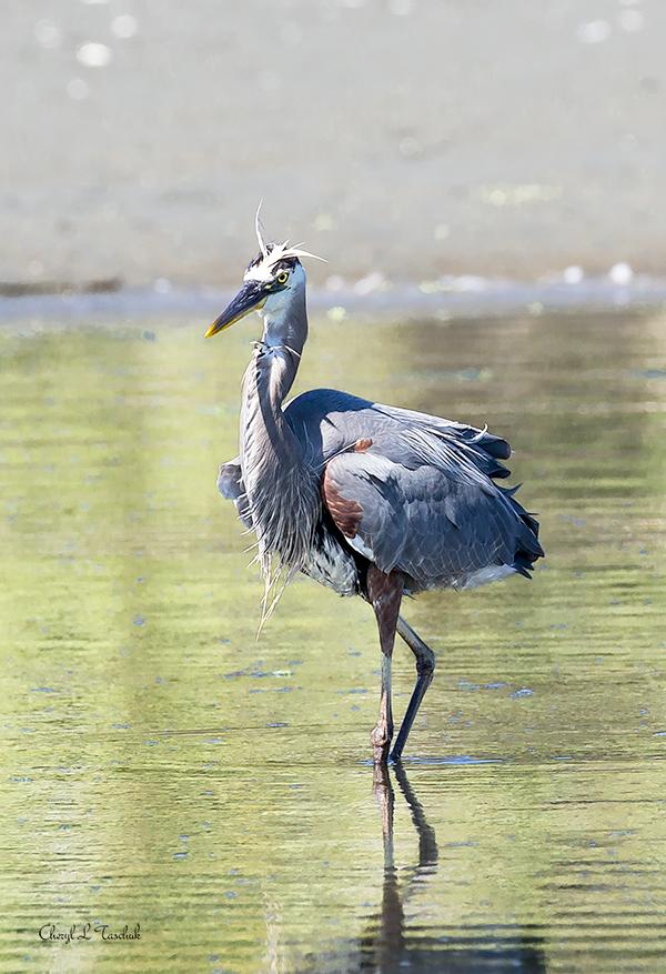 BI-Heron Wading 6411