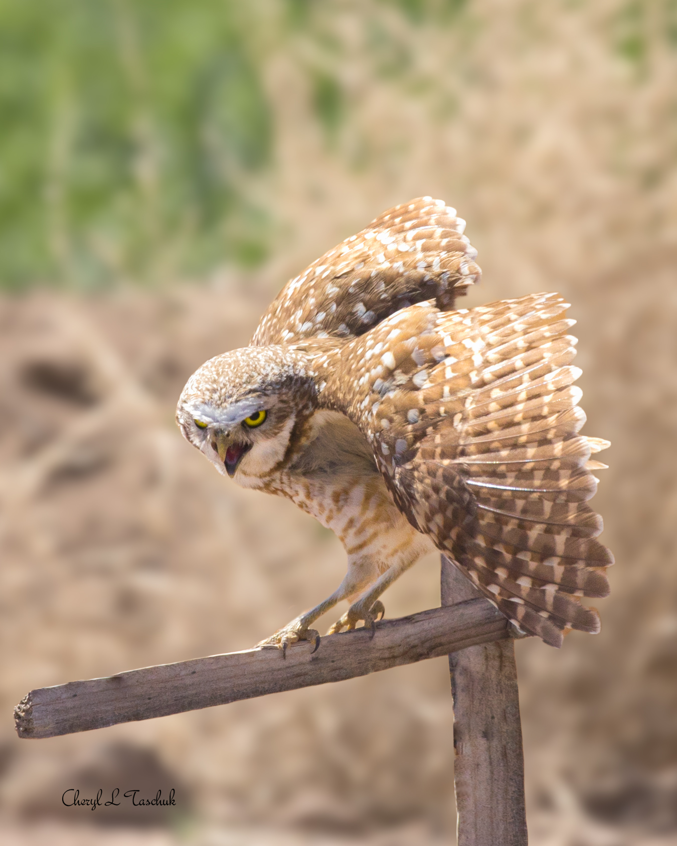 Burrowing Owl on Post 2