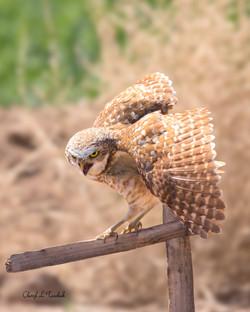 Burrowing Owl on Post 2