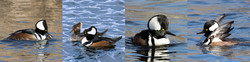 Set 8 Hooded Mergansers-Set of 4