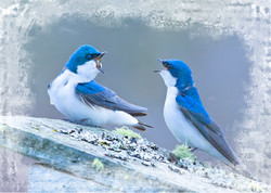 Tree Swallows in Discussion-3 Variations