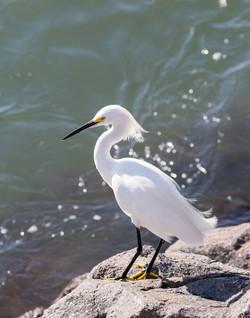 Egret Standing on Rock