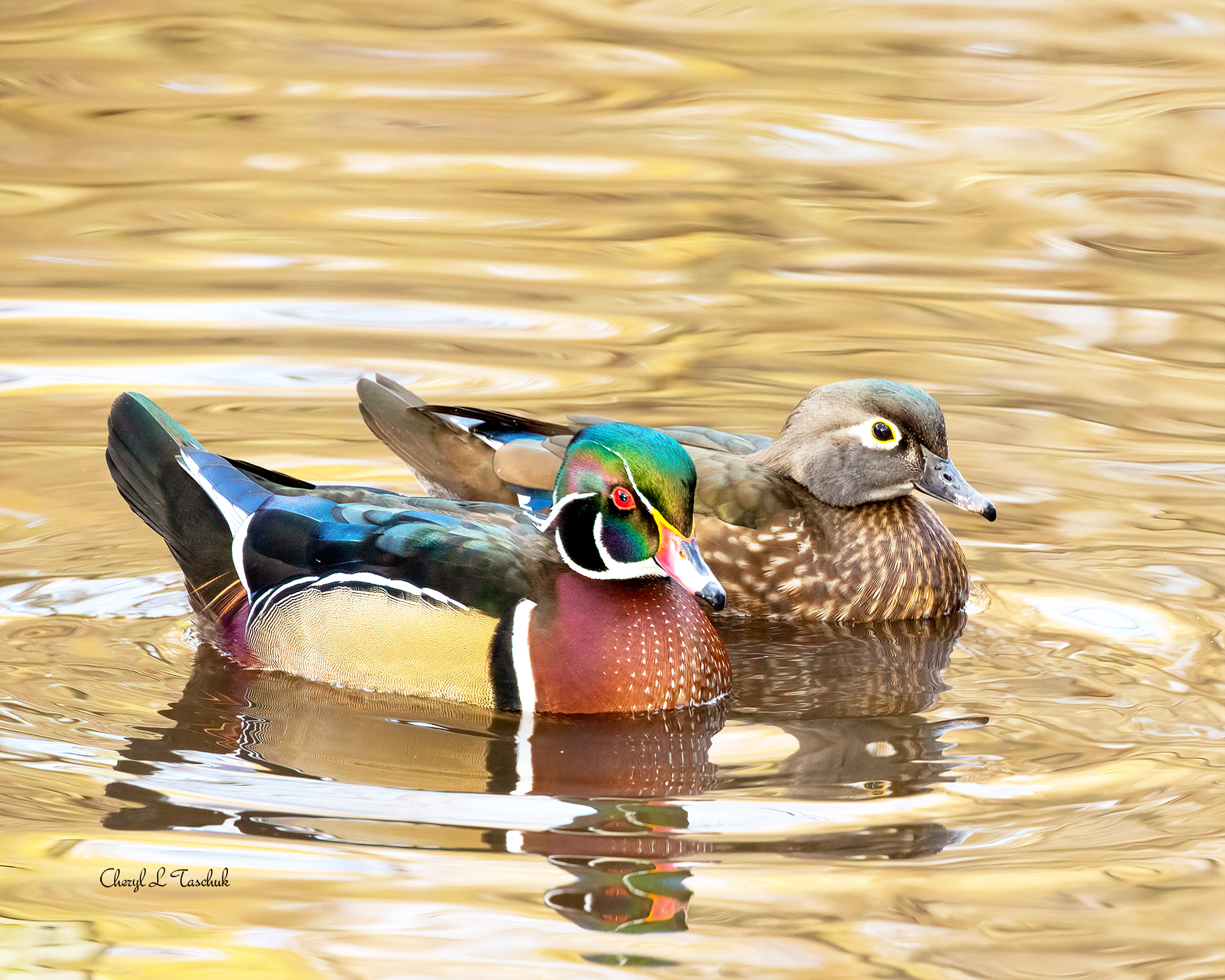 Wood Duck Couple, Swimming