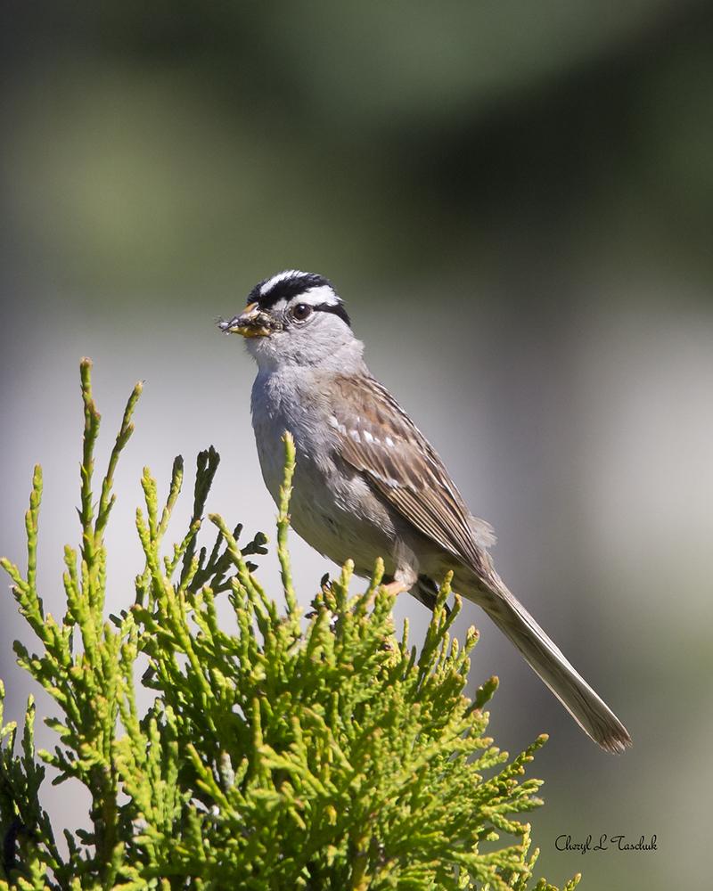 BI-White Crowned Sparrow-Web 2196