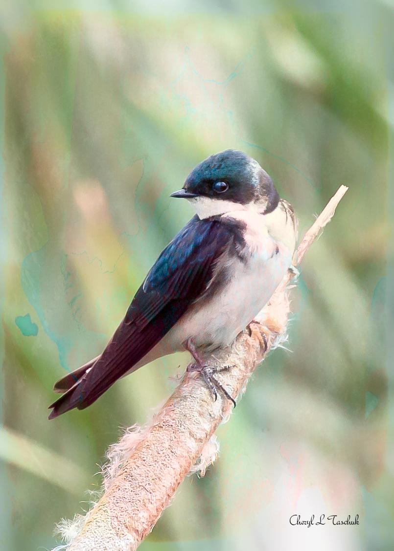 BI-Tree Swallow on Cat Tail 5839