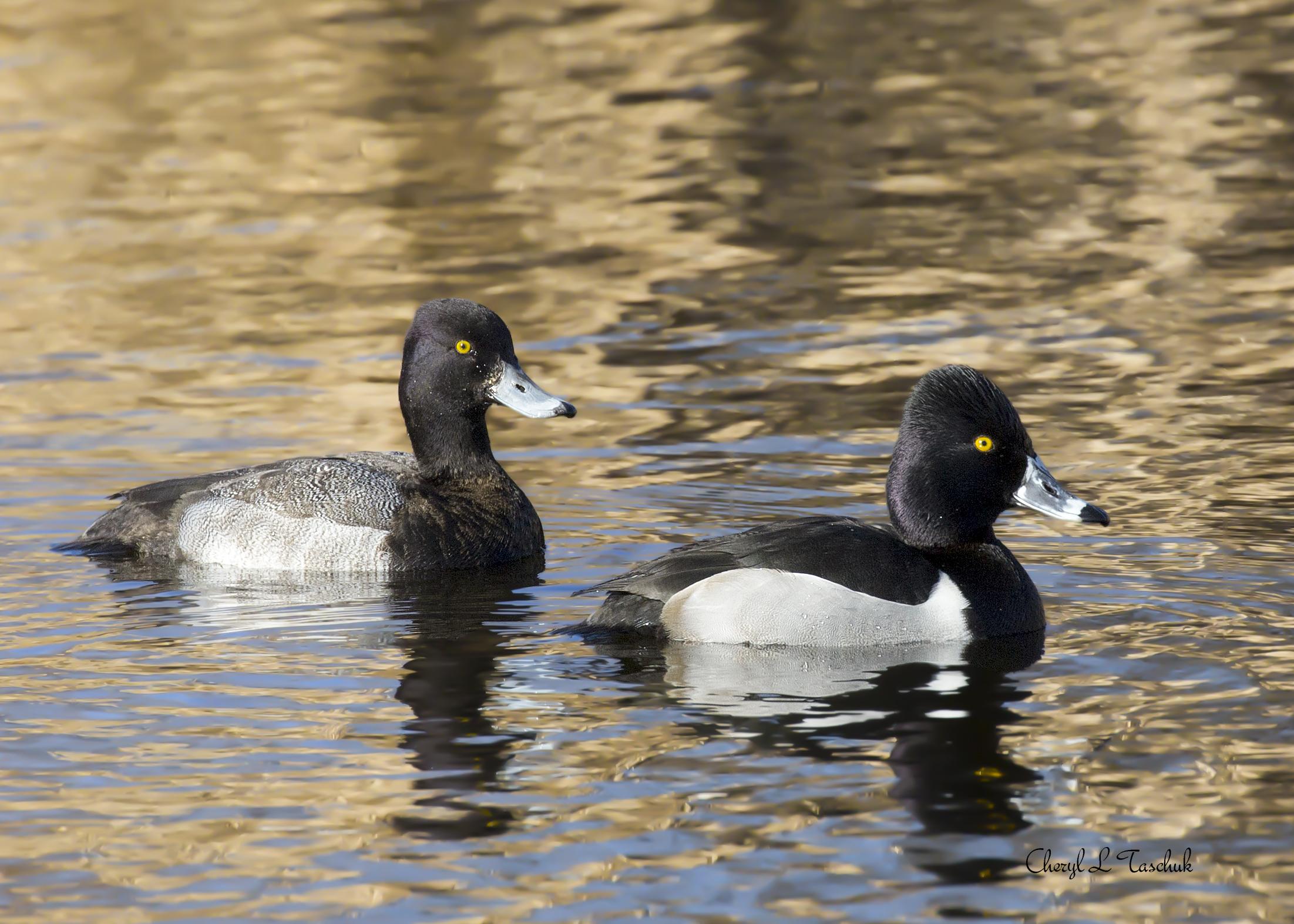 Ring Necked Ducks, Pair