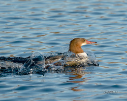 Common Merganser Swimming with Bubbles