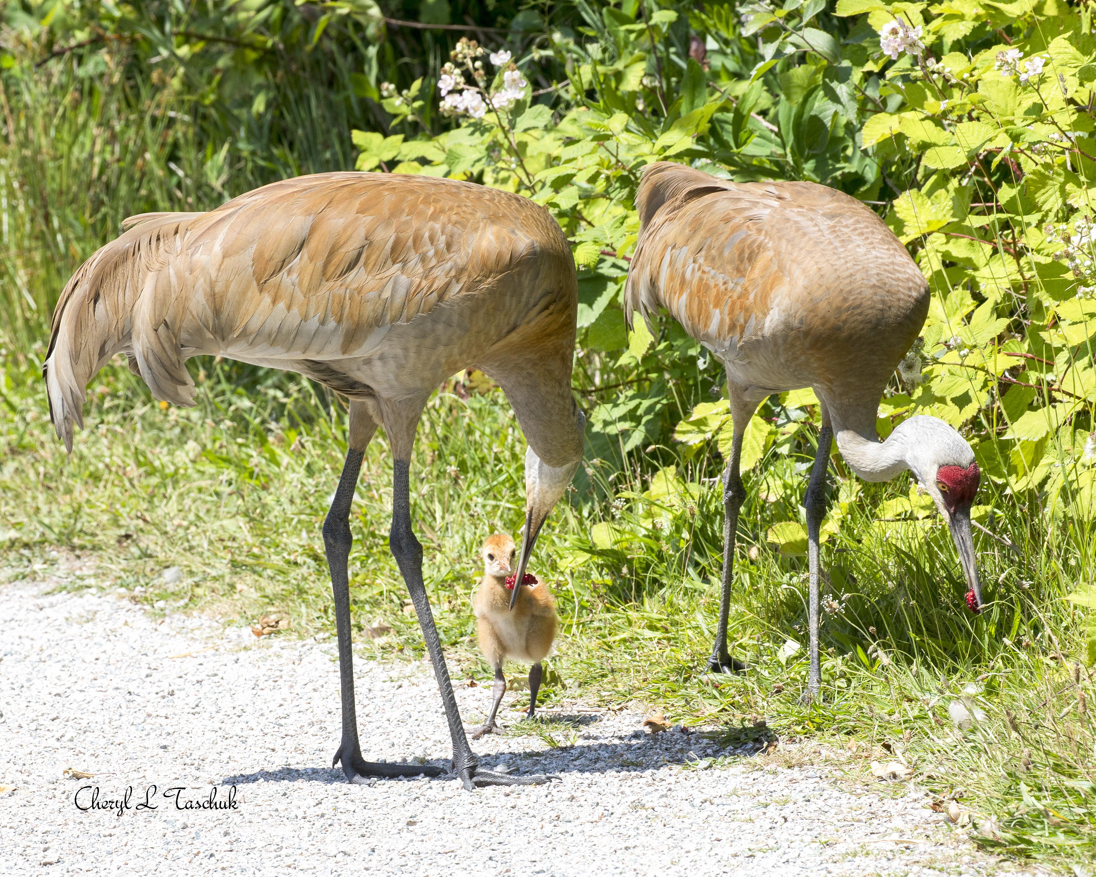Sandhill Cranes Feeding Chick