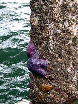 Starfish on Wharf