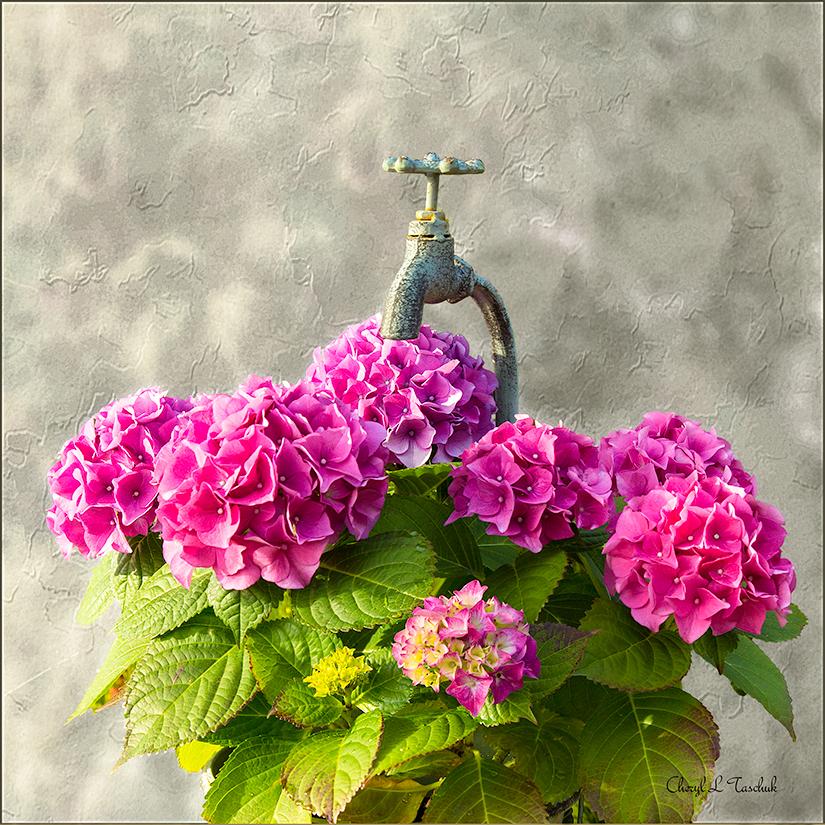Hydrangea in Tap Pot