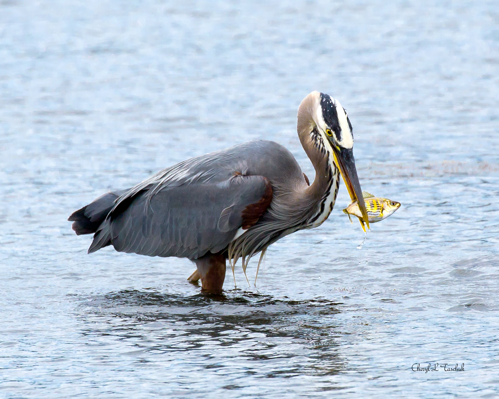 BI-Heron with Fish 6152