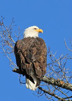 Bald Eagle in Tree
