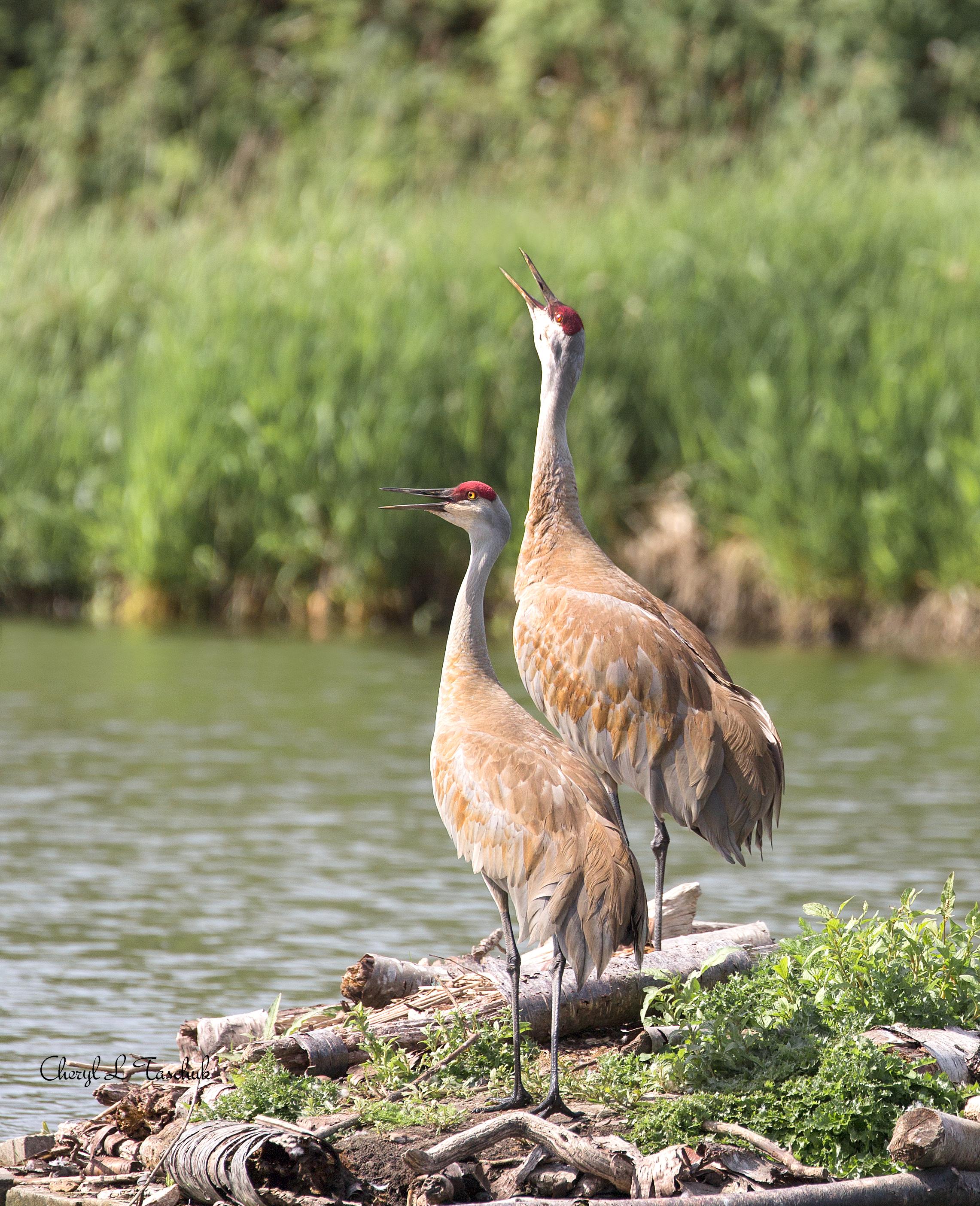 BI-Sandhill Cranes Calling 5735a