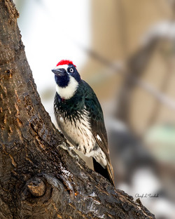 Acorn Woodpecker in Tree 2