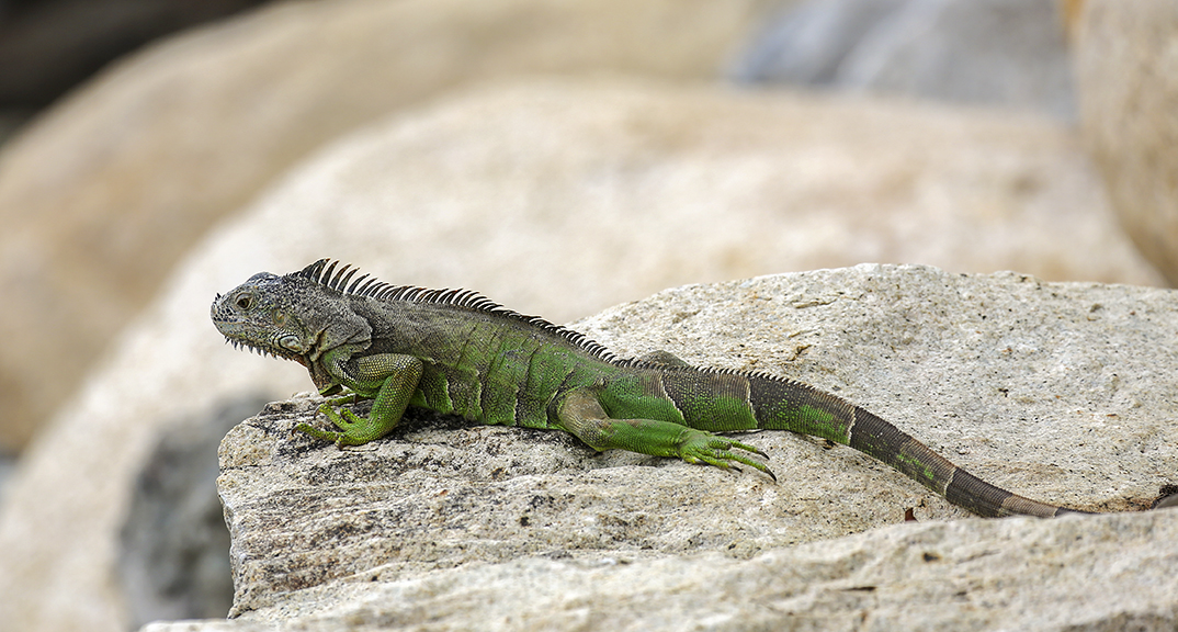 Green Iguana on Rocks