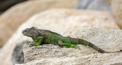 Green Iguana on Rocks