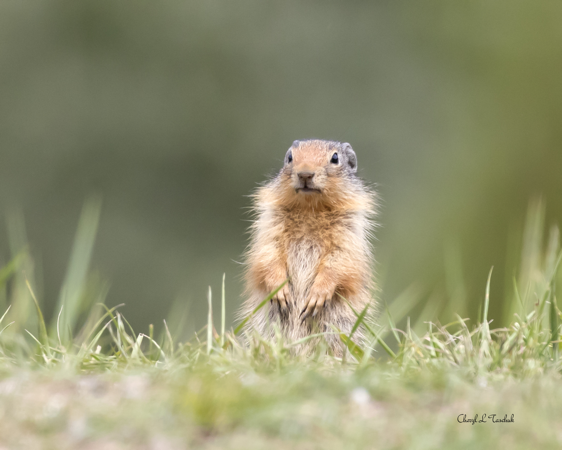 Gopher in Field